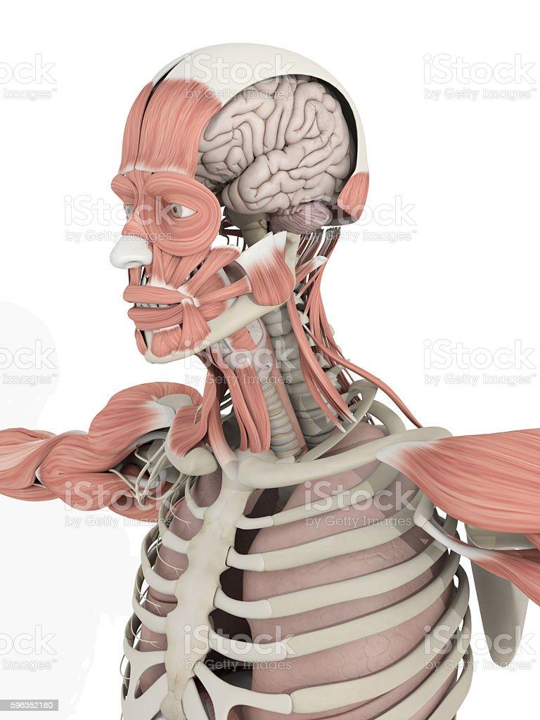 Human anatomy head and brain medical illustration Lizenzfreies stock-foto