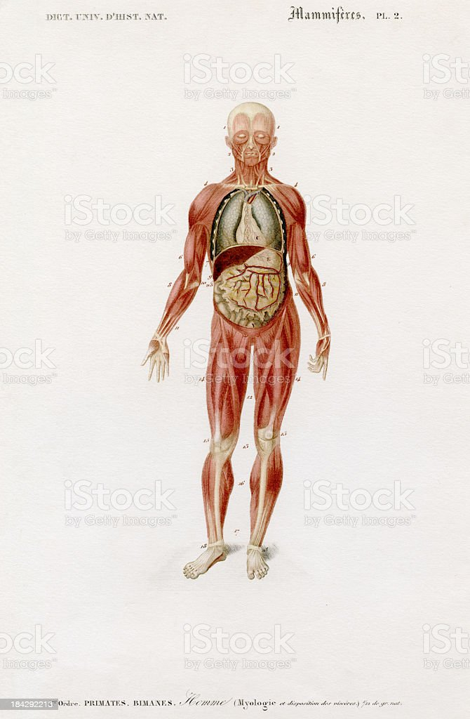 human anatomy, historic illustration, 1849 stock photo