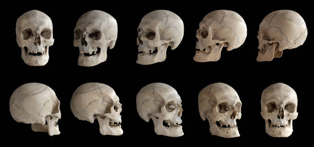 Human anatomy. Human skull. Collection of rotations of the skull. Skull at different angles. I Human anatomy. Human skull. Collection of rotations of the skull. Skull at different angles. Isolated on black background. human skull stock pictures, royalty-free photos & images