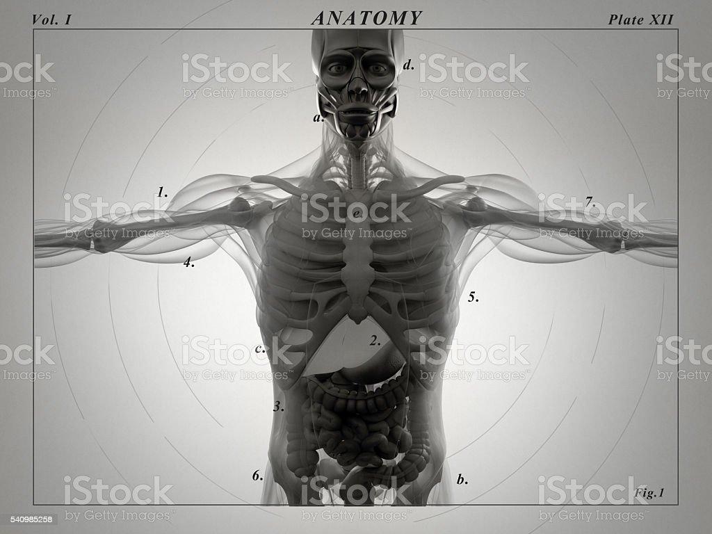 Human Anatomy Liver Xray Like View Futuristic Scan 3d Illustration ...