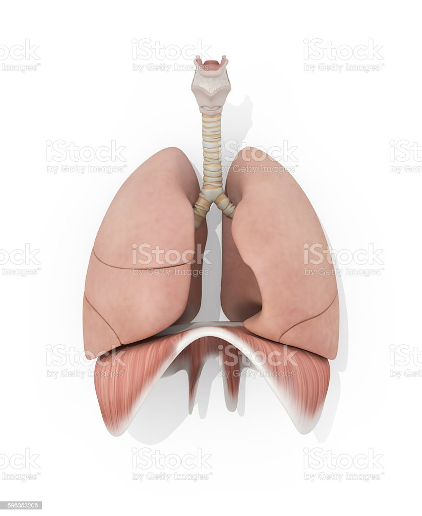 Human anatomy lungs medical illustration stock photo