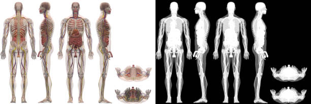 human anatomy male model all systems - medical diagrams stock pictures, royalty-free photos & images