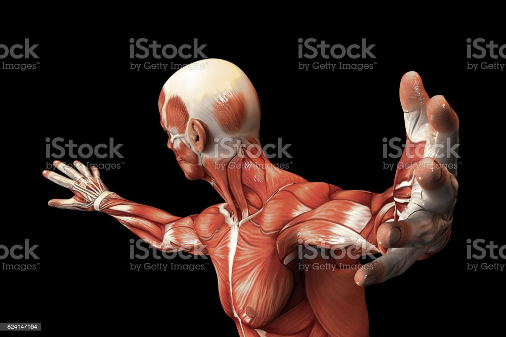 Human Anatomy - Male Muscles. 3D illustration. stock photo