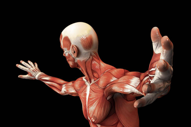 Human Anatomy - Male Muscles. 3D illustration. Human Anatomy - Male Muscles. 3D illustration. physiology stock pictures, royalty-free photos & images