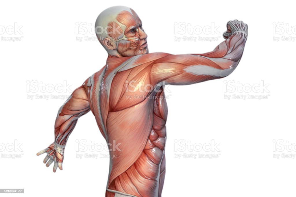 Human Anatomy Male Muscles 3d Illustration Stock Photo More