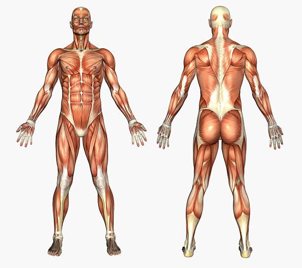 human anatomy - male muscles - 人體部分 個照片及圖片檔