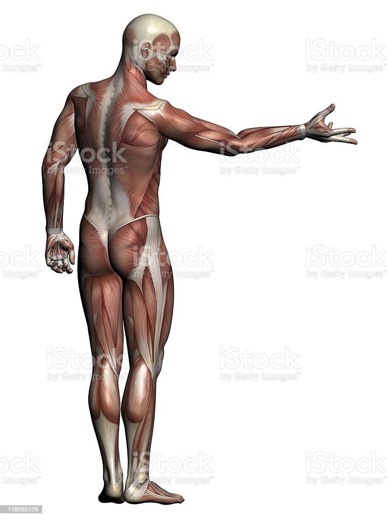 Fotografía de De Los Músculos Hombre Anatomía Humana y más banco de ...