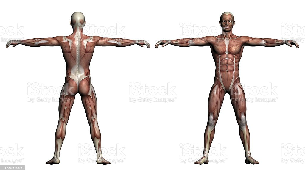 Human Anatomy - Male Muscles stock photo