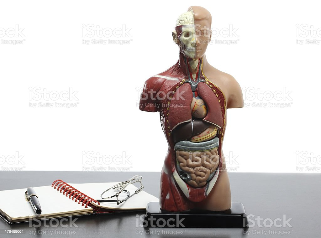 Human anatomy model and glasses on the table stock photo