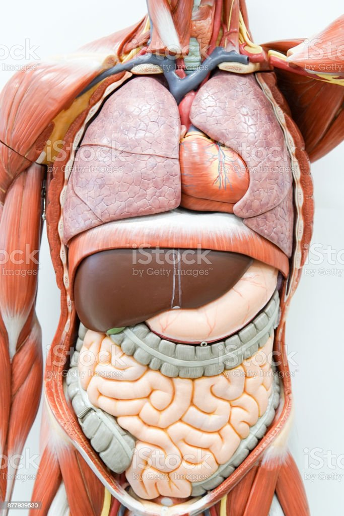 Human Anatomy Model For Education Stock Photo More Pictures Of