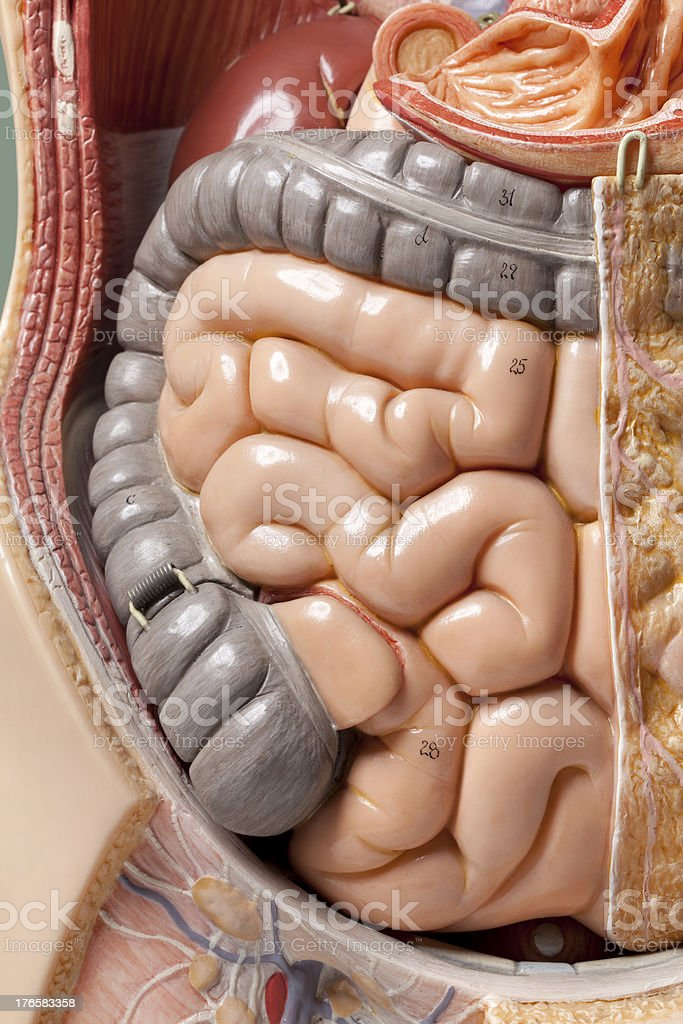 Human anatomy model. Intestine. stock photo