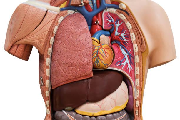 modell der menschlichen anatomie - herz lungen training stock-fotos und bilder