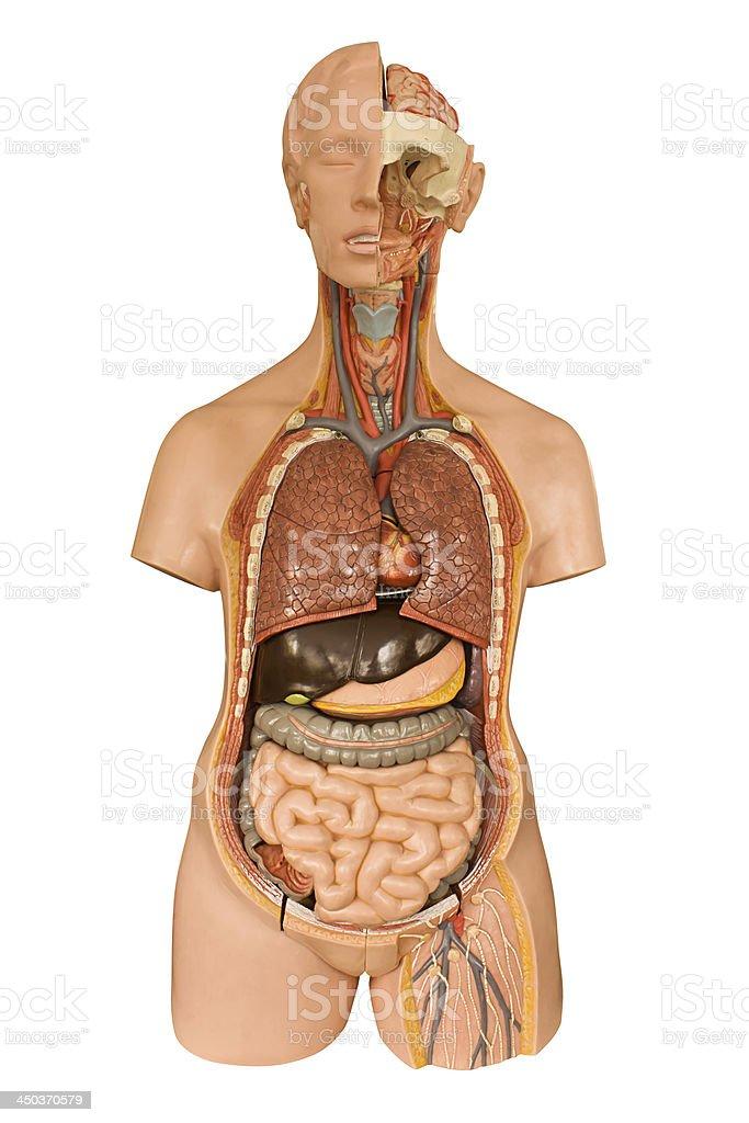 Menschliche Anatomiemodell Stock-Fotografie und mehr Bilder von ...