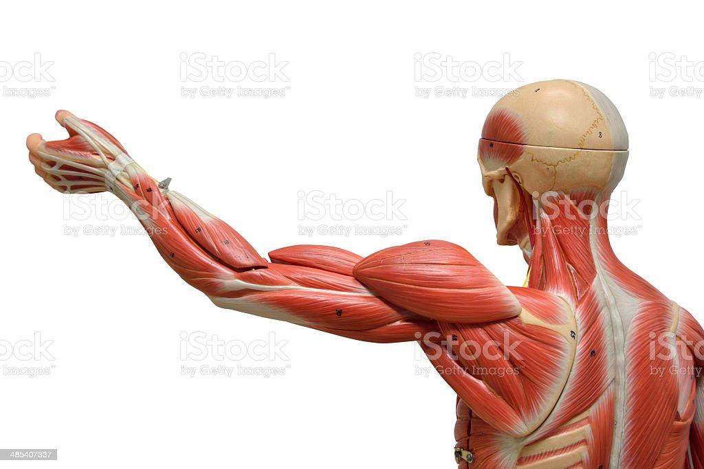 Anatomía Humana Modelo - Fotografía de stock y más imágenes de ...