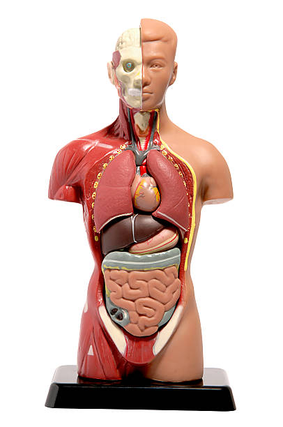 human anatomy model - human intestine stock photos and pictures