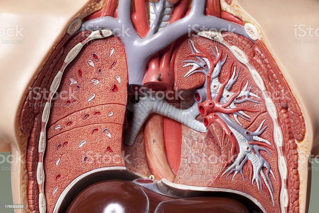 Human anatomy model. Pulmonary system. stock photo