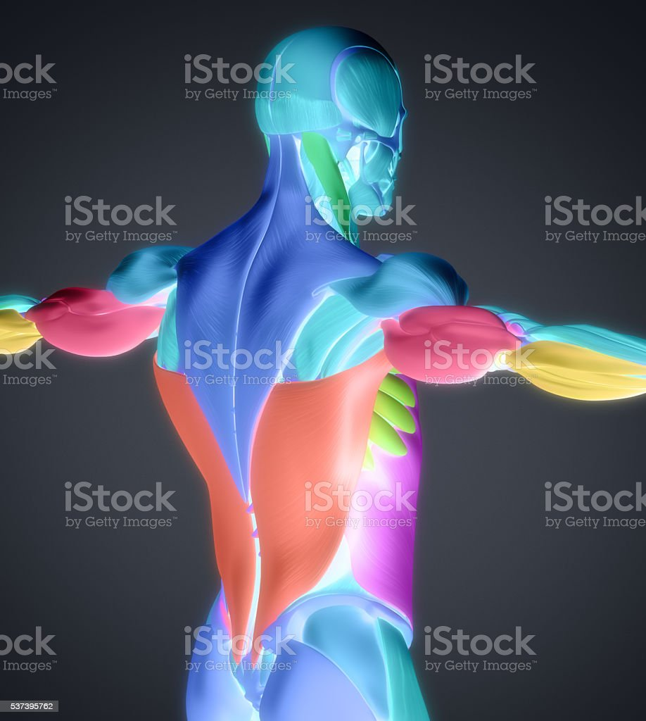Human Anatomy Muscle Groups Muscle Layout Locationdifferent Colors