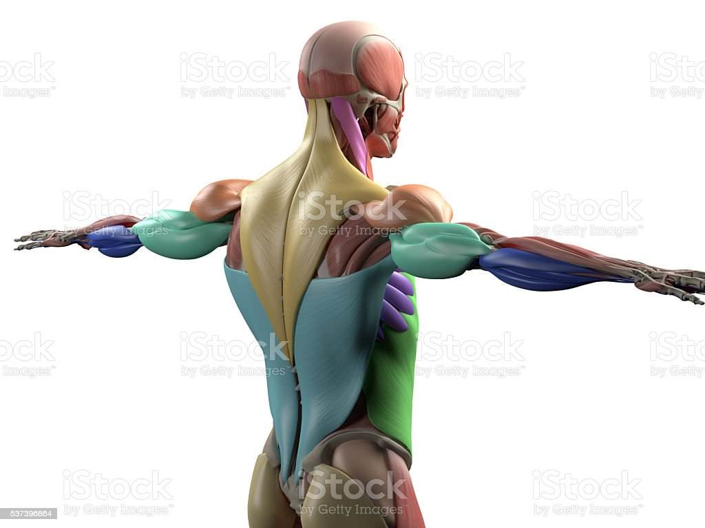 Human Anatomy Muscle Groups Muscle Layout Locationdifferent Colors ...