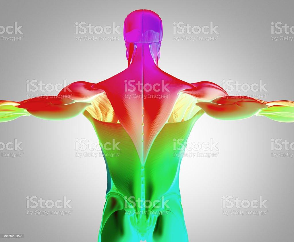 Human Anatomy Muscle Groups Torso Back 3d Illustration Stock
