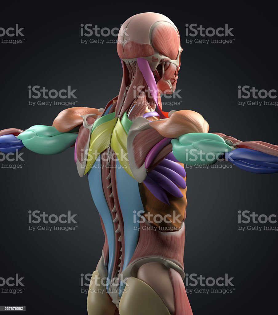 Human Anatomy Muscle Groups Torso Back Color Coded 3d Illustration ...