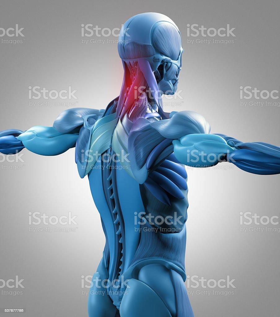 Human Anatomy Muscle Groups Torso Back Pain 3d Illustration Stock