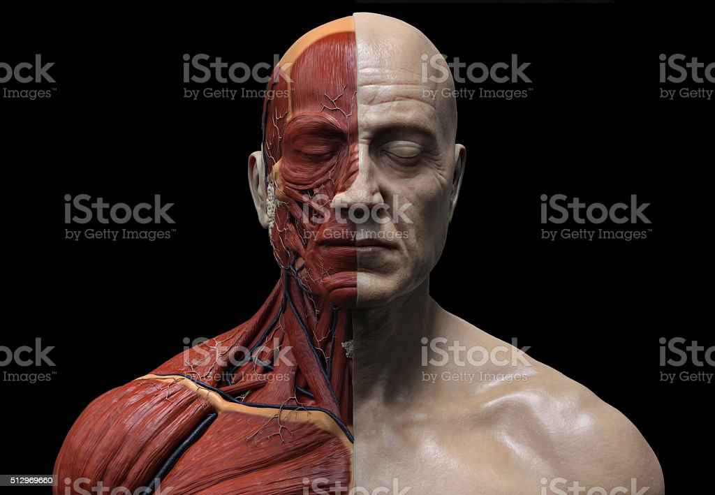 Human anatomy  muscular structure stock photo