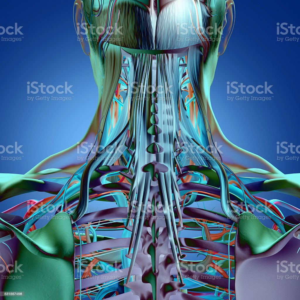 Human Anatomy Neck And Spine 3d Illustration Stock Photo More