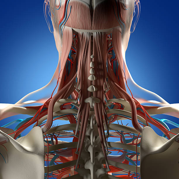 Human anatomy, neck and spine 3d illustration. Human anatomy, neck and spine 3d illustration. cervical vertebrae stock pictures, royalty-free photos & images