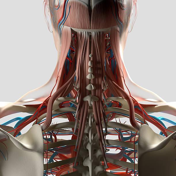 Human anatomy, neck and spine 3d illustration. stock photo