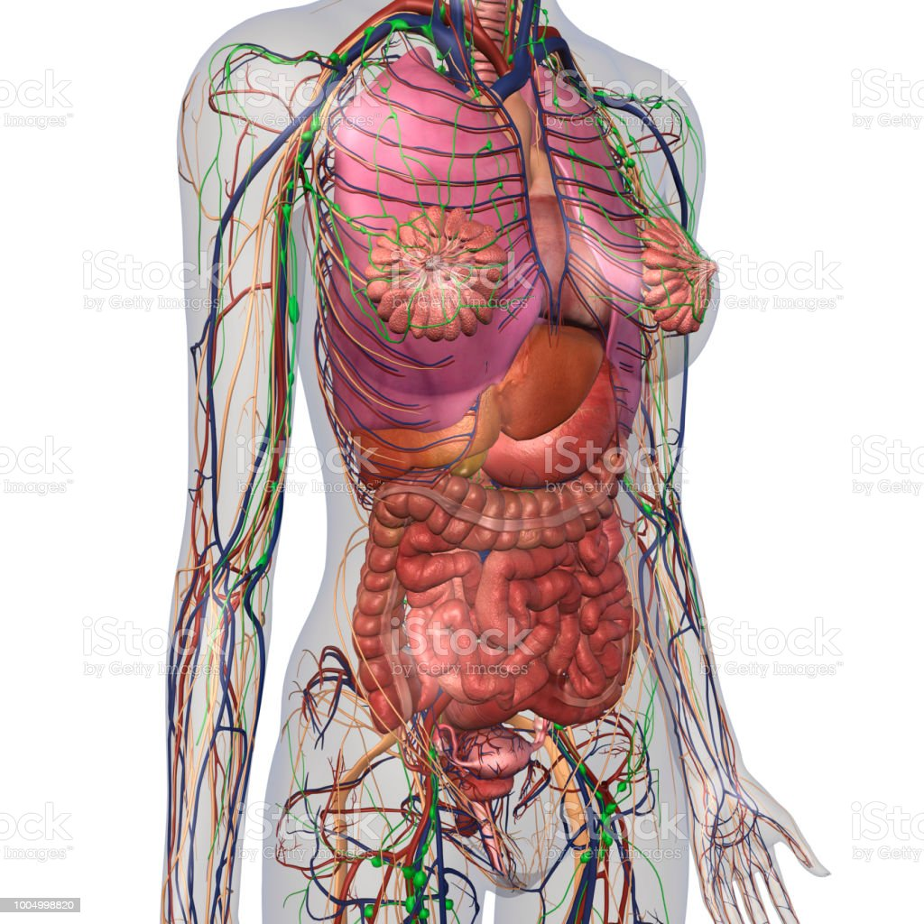 Human Anatomy Of Female Chest And Abdomen Stock Photo More