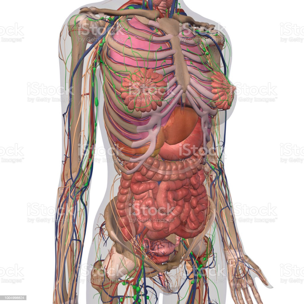 Human Anatomy Of Female Chest And Abdomen Stock Photo More