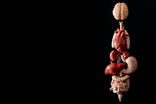 human anatomy, organ transplant and medical science concept with a collage of human organs in anatomically correct position like brain, heart, liver, etc, isolated on black background with copyspace - heart internal organ stock photos and pictures