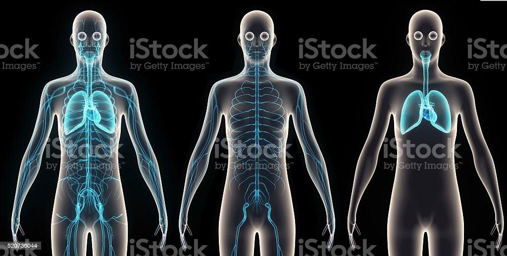 Human anatomy orngs stock photo