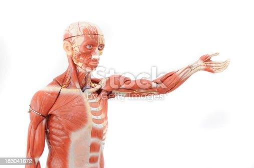 istock Human anatomy 183041672