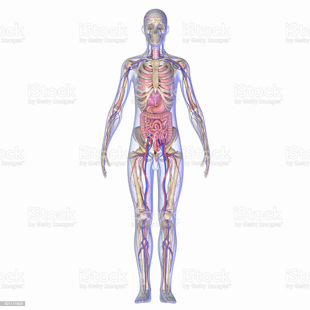 Menschliche Anatomie Stock-Fotografie und mehr Bilder von Anatomie ...