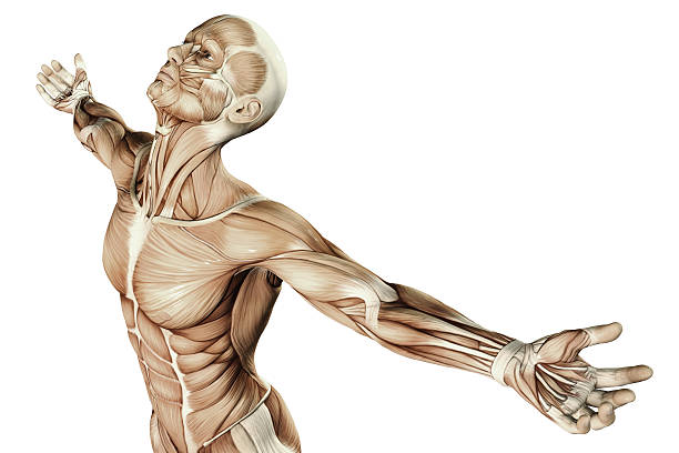 Human Anatomy Human Anatomy - Male Muscles physiology stock pictures, royalty-free photos & images