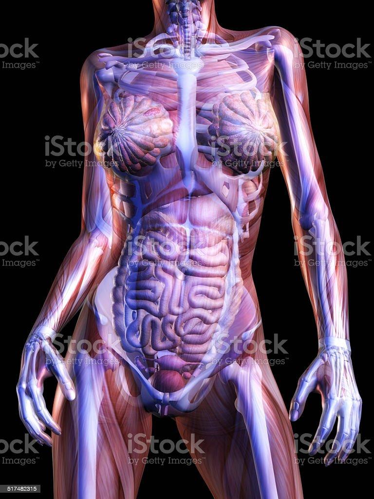 Fotografía de Anatomía Humana y más banco de imágenes de Abdomen ...