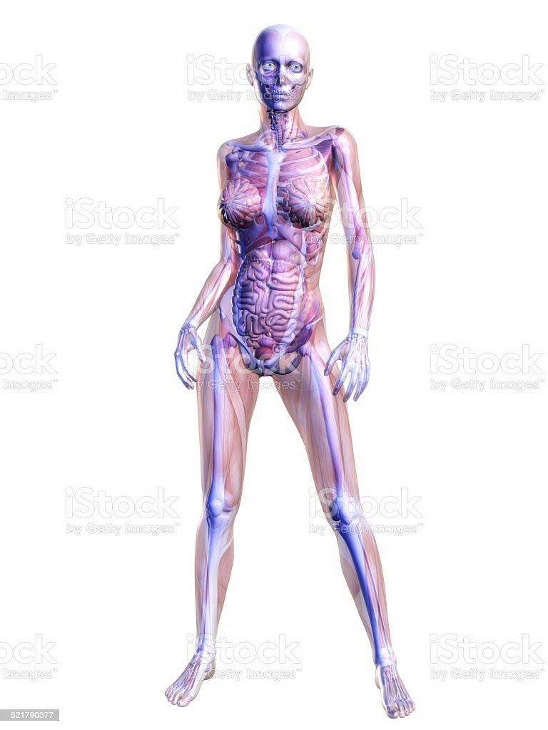 Anatomía Humana - Stock Foto e Imagen de Stock   iStock