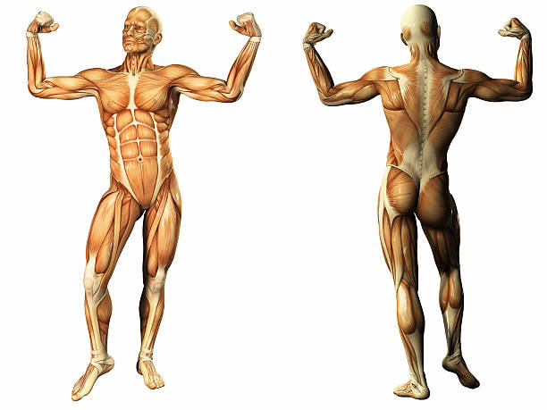 menschliche anatomie - mit muskelkater trainieren stock-fotos und bilder