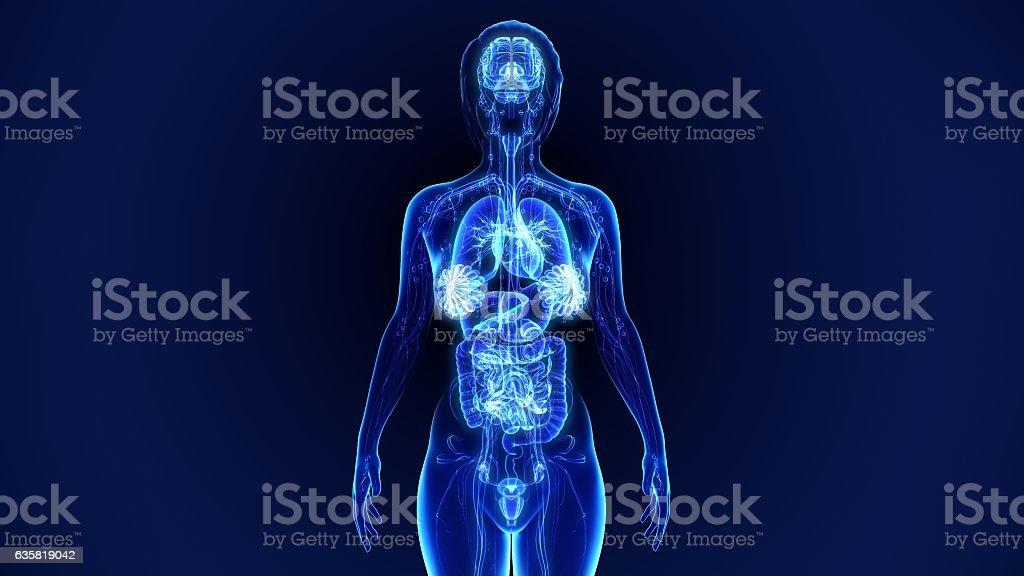 Anatomia umana  - foto stock