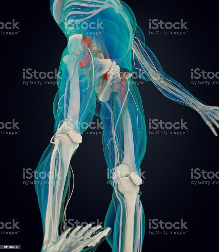 Human Anatomy Psoas Muscle Soul Muscle Core Strength Yoga Pilates ...
