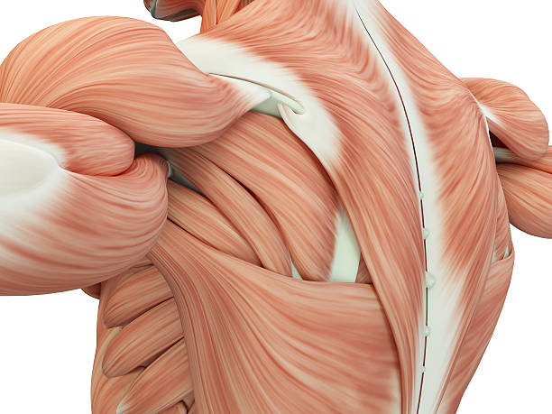 human anatomy shoulder and back. 3d illustration. - espalda humana fotografías e imágenes de stock
