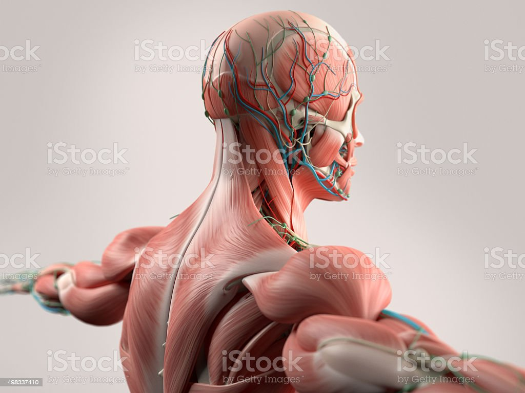 Human Anatomy Showing Face Head Shoulders And Back Stock Photo