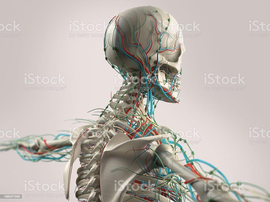 Fotografía de Anatomía Humana Demuestra La Cara Cabeza Y Hombros Y ...
