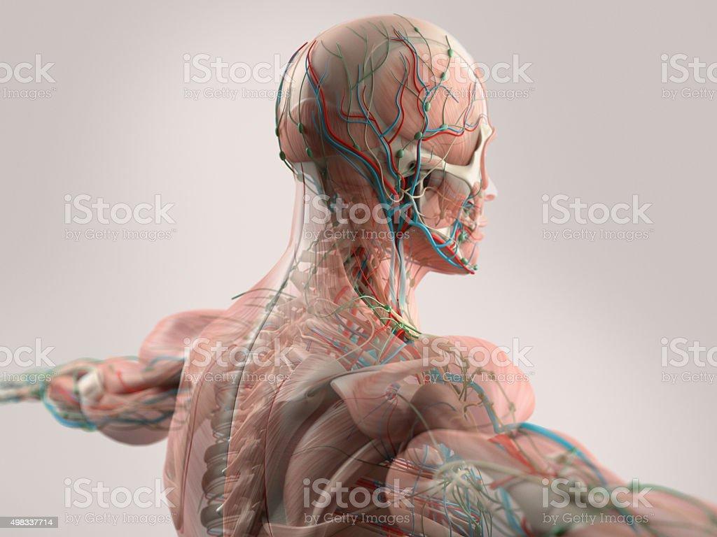 Menschliche Anatomie Mit Gesicht Kopf Schultern Und Rücken Stock ...