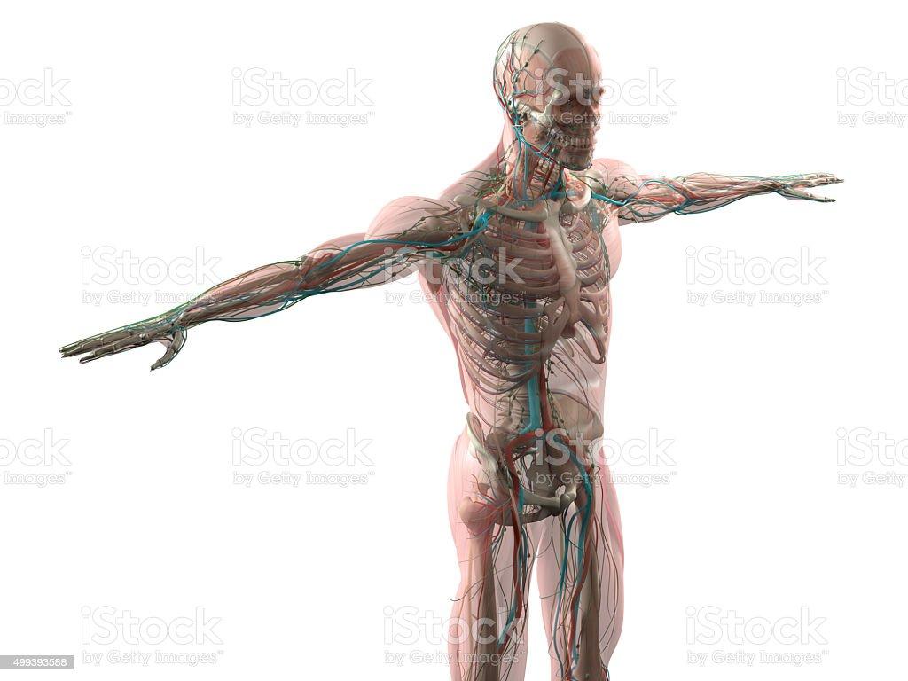 Ausgezeichnet Kopf Muskelanatomie Ideen - Menschliche Anatomie ...