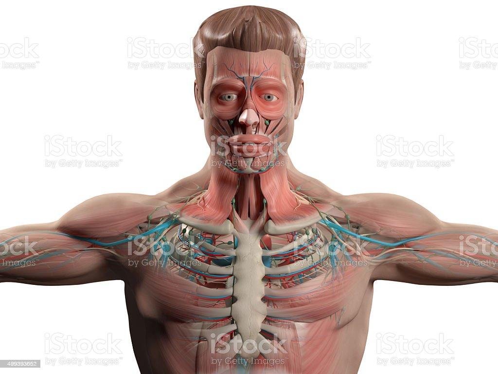 Menschliche Anatomie Mit Gesicht Kopf Schultern Und Torso Mit ...