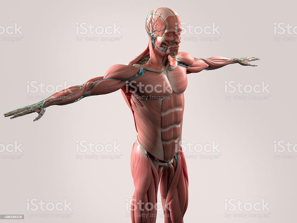 Menschliche Anatomie Mit Gesicht Kopf Und Schultern Und Des ...
