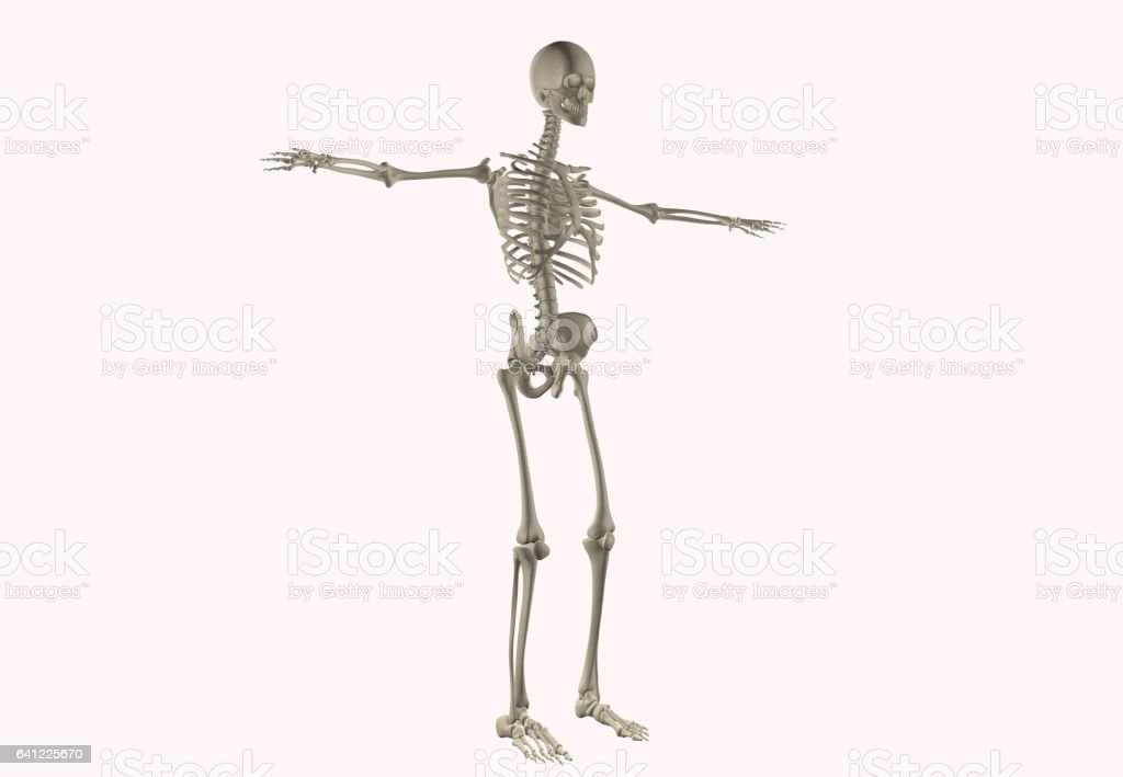 Human Anatomy Skeletal System Stock Photo More Pictures Of Anatomy