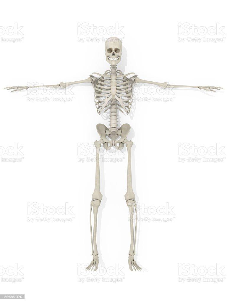Human anatomy skeleton medical illustration on white background. royalty-free stock photo